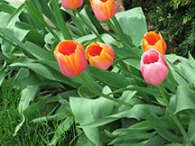 Tulips Outside Veda Bhavan